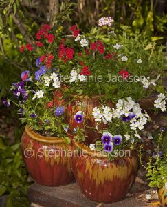 Colourful annuals growing in decorative strawberry / herb pot.