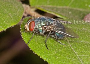 Fly on a leaf in Queensland Australia