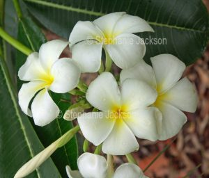 White perfumed flowers of Plumeria rubra, a deciduous tree / shrub, frangipani