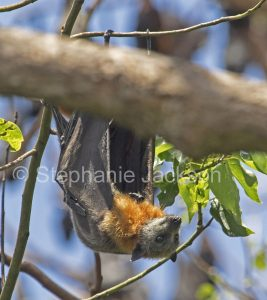 Australian grey-headed flying fox / fruit bat (Pteropus poliocephalus) hanging in a tree in Queensland Australia