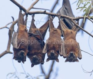 Australian grey-headed flying foxes / fruit bats (Pteropus poliocephalus) hanging side by side, staring at camera, in Queensland Australia