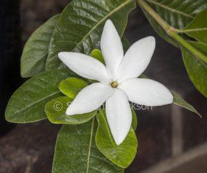White flower and green leaves of Gardenia psidioides 'White Star',