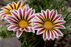 Burgundy red and white striped flowers of Gazania