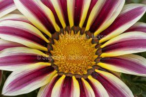 Striped flower of gazania hybrid