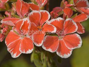 Orange and white flowers of geranium, Pelargonium Mr Wren.