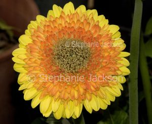Yellow and orange double Gerbera flower on dark background