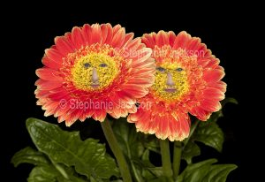 Happiness in the garden. Flowers of Gerbera jamesonii cultivar with human faces on black background