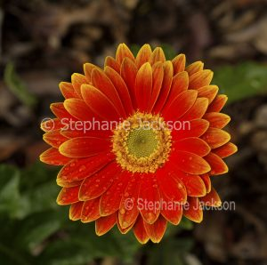 Vivid orange flower of Gerbera jamesonii cultivar with raindrops on petals.