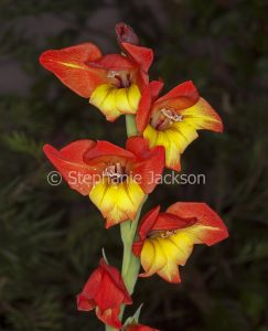 Red and yellow gladiolus flowers, on dark background