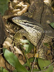 Goanna, Varanus varius, lace monitor lizard, on forest floor in Queensland Australia Australia.