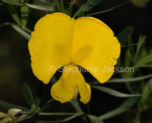 Yellow flower of Gompholobium latifolium, Golden Glory Pea, in Myall Lakes National Park in NSW Australia