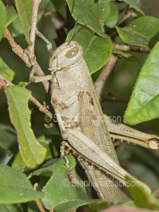 Grasshopper on green leaves in a garden in Queensland Australia.