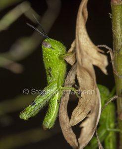 Bright green grasshopper, insect pest, on dead leaf against dark background in Australia