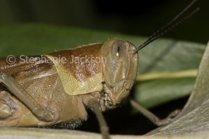 Close-up of head of brown grasshopper, insect pest, in a garden in Queensland Australia