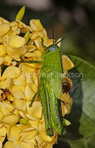 Bright green grasshopper, insect pest, on bright yellow ixora flowers in a garden in Queensland Australia.