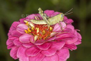 Grasshopper, insect pest, on bright pink zinnia flower in a garden in Queensland Australia.