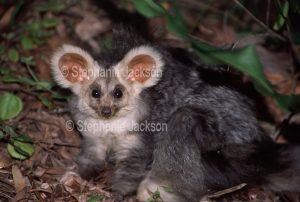 The greater glider, Petauroides volans, is a rarely seen nocturnal species that is classified as vulnerable due to the ongoing destruction of its forest habitat.