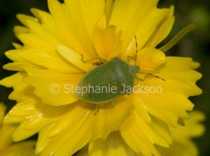 Green shield bug, an insect pest species, on yellow coreopsis flower in garden in Queensland Australia