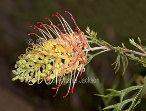 Yellow and pink flower of Grevillea 'Loopy Lou', drought tolerant Australian native shrub on dark green background.
