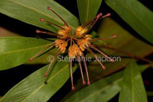 Orange flower of Grevillea venusta, an Australian native shrub.