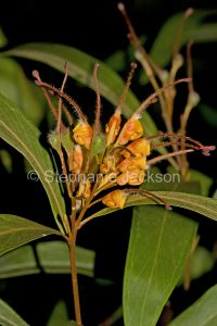 Orange flower of Grevillea venusta in Queensland Australia,