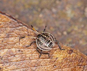 Gum tree stink bug nymph, Poecilometis patruelis in Queensland Australia.