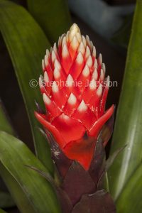 Colourful red and white flower bracts of Guzmania 'Beau', a bromeliad.