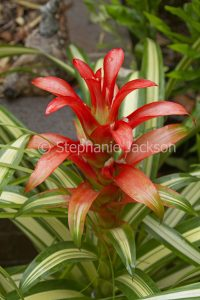 Guzmania 'Georgia', a bromeliad with red / orange flower bracts and green and white striped / variegated leaves