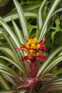 Guzmania 'Kapoho Fire' - a bromeliad with red and yellow flower bracts and green and white striped / variegated leaves