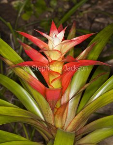 Red and white flower bract and green leaves of bromeliad, Guzmania cultivar