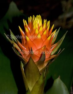 Colourful orange and yellow flower bracts of Guzmania conifera, a bromeliad on dark background