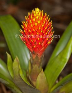Vivid red and yellow bracts / flower and green leaves of bromeliad, Guzmania conifera