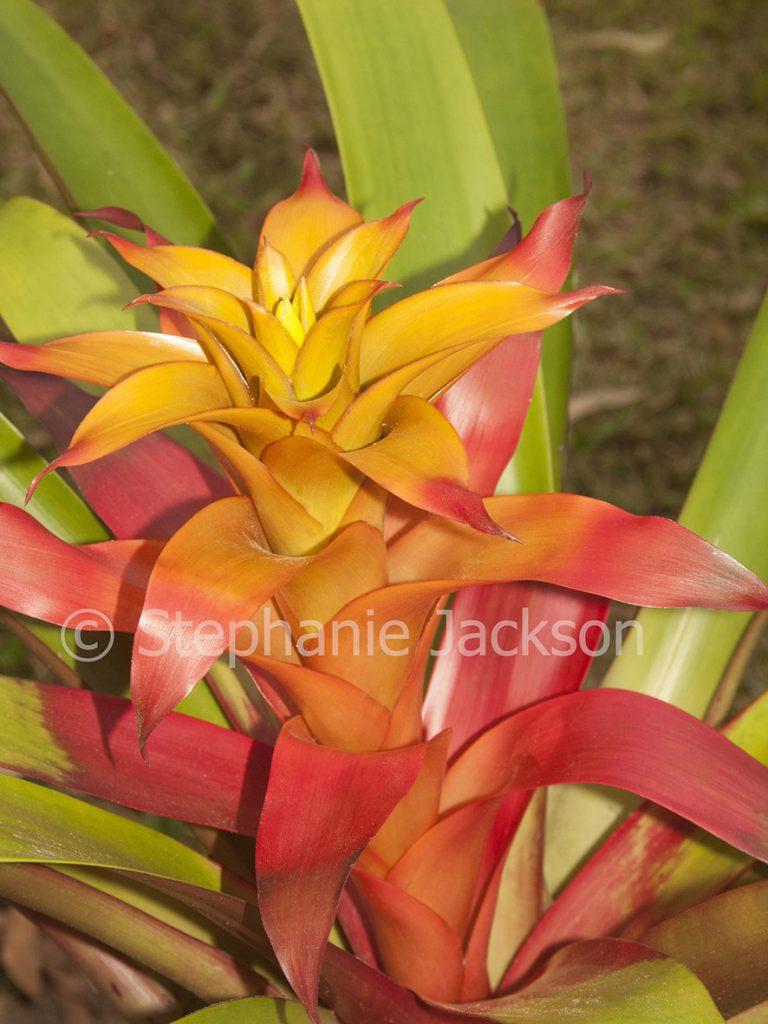 Red and orange flower bract of bromeliad, Guzmania cultivar