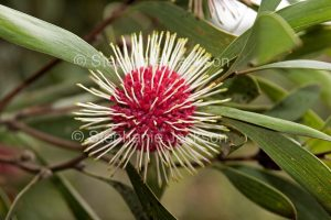 Globular flower of Hakea laurina, Pincushion hakea, in Victoria, Australia.