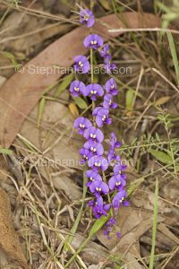 Purple flowers of Hardenbergia violacea, a climbing / twining Australian native plant at Crowdy Bay National Park in NSW.