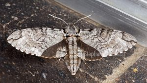 Hawk moth, Psilogramma papuensis on house window sill in Queensland Australia.