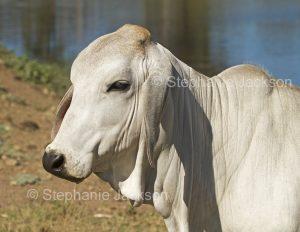 Head of a Brahman / Zebu steer, Bos indicus, on a farm in central Queensland Australia.