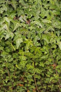 Leaves of European ivy, Hedera helix, covering a garden wall