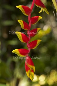 Red and yellow flowers / bracts of Heliconia.