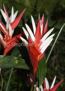 Red and white flowers / bracts of Heliconia 'White Christmas' on dark green background