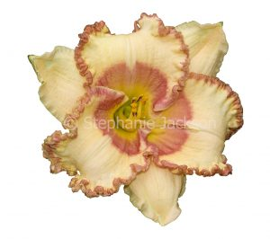 Apricot and salmon pink flower with ruffled edge to petals, daylily, Hemerocallis 'Braided Edges' on white background.
