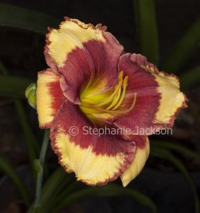 Apricot and dark red flower of daylily, Hemerocallis 'Candid Colours' on dark green background