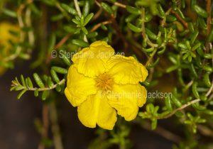 Vivid golden yellow flower and small green leaves of Australian native shrub, Hibbertia serpyllifolia, a drought tolerant ground cover plant.