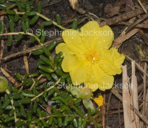 Yellow flower of native ground cover plant, Hibbertia vestita.