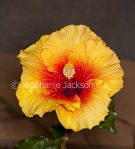 Orange / yellow flower with red throat - Hibiscus Flamenco series 'Apollo'.