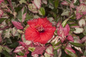 Red flower and variegated red, green and white leaves of Hibiscus 'Snowflake'.
