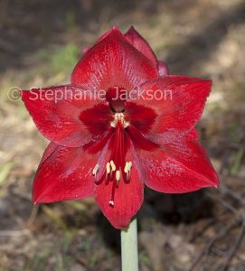 Large deep rich red flower of Hippeastrum 'Anticipation'.