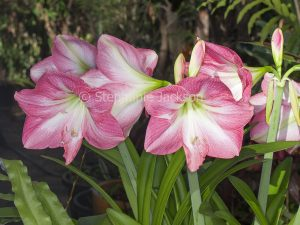 Cluster of large pink flowers of Hippeastrum 'Jenny'.