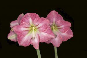 Large pink flowers of Hippeastrum 'Jenny' on black background