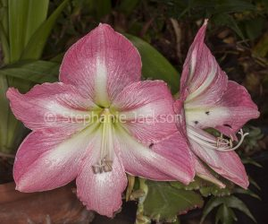 Large pink flowers of Hippeastrum 'Jenny' with Australian native bees on petals.